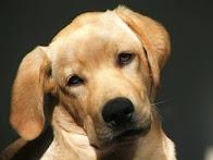 Populära hundraser