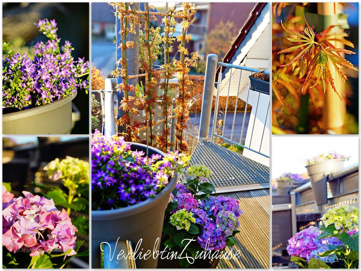 Balkonbepflanung mit Glockenblumen, Hortensie und japnischen Ahorn