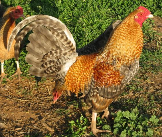 Breed savers standard old english game fowl
