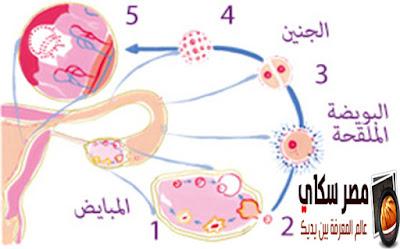 الحمل وكيفية حدوثة ومواعيد التبيويض عند المرأة Pregnancy
