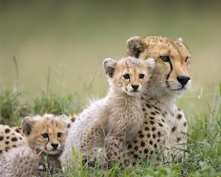 Wildlife-Cheetah-Wallpapers
