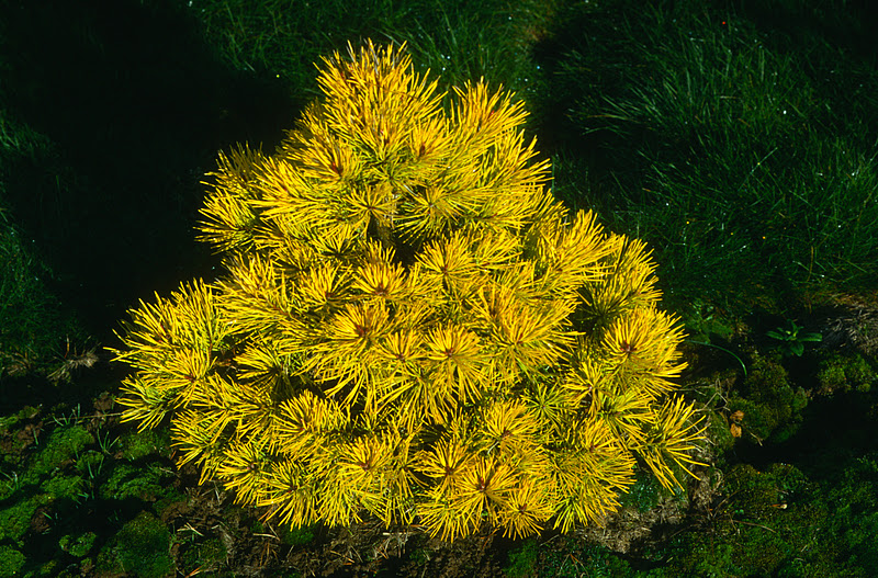 Mature pinus sylvestris gold coin