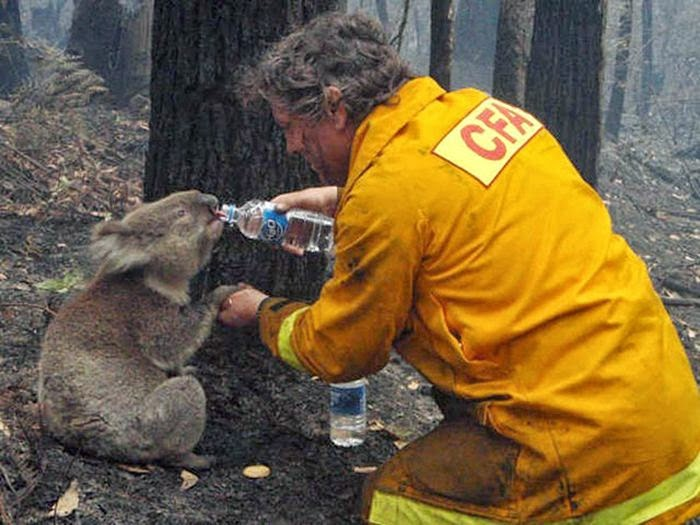 People doing amazing things for animals (28 pics), a firefighter gave to a koala
