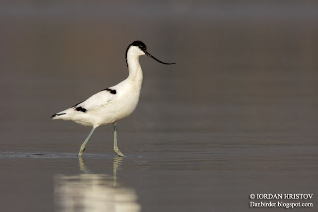 Avocet photography