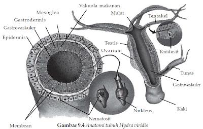 struktur tubuh hydra