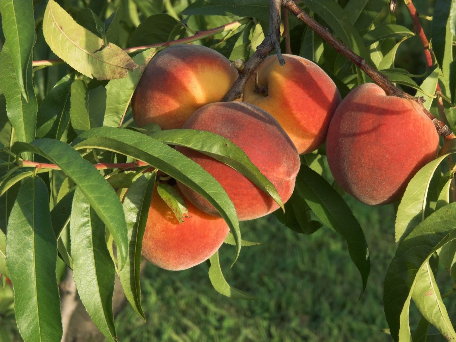 health-benefits-of-apricots