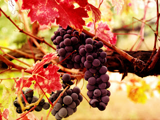 Bunches of Dark Grapes and Red Leaves HD Wallpaper