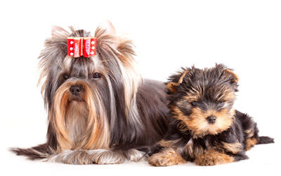 Yorkshire Terrier puppie and adult dogs - Lindos caninos