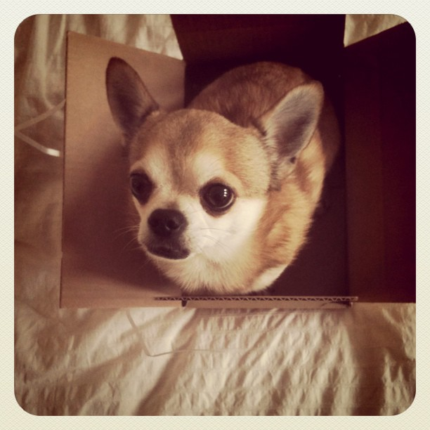 chihuahua in a box