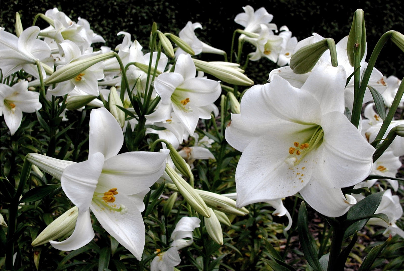 Nixpages Madonna Lily