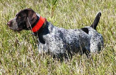 ... Wirehaired Pointer: Basics of German Wirehaired Pointer Training