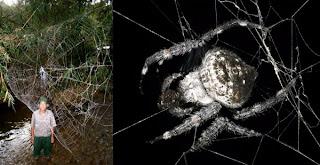 Araña ladradora de Darwin