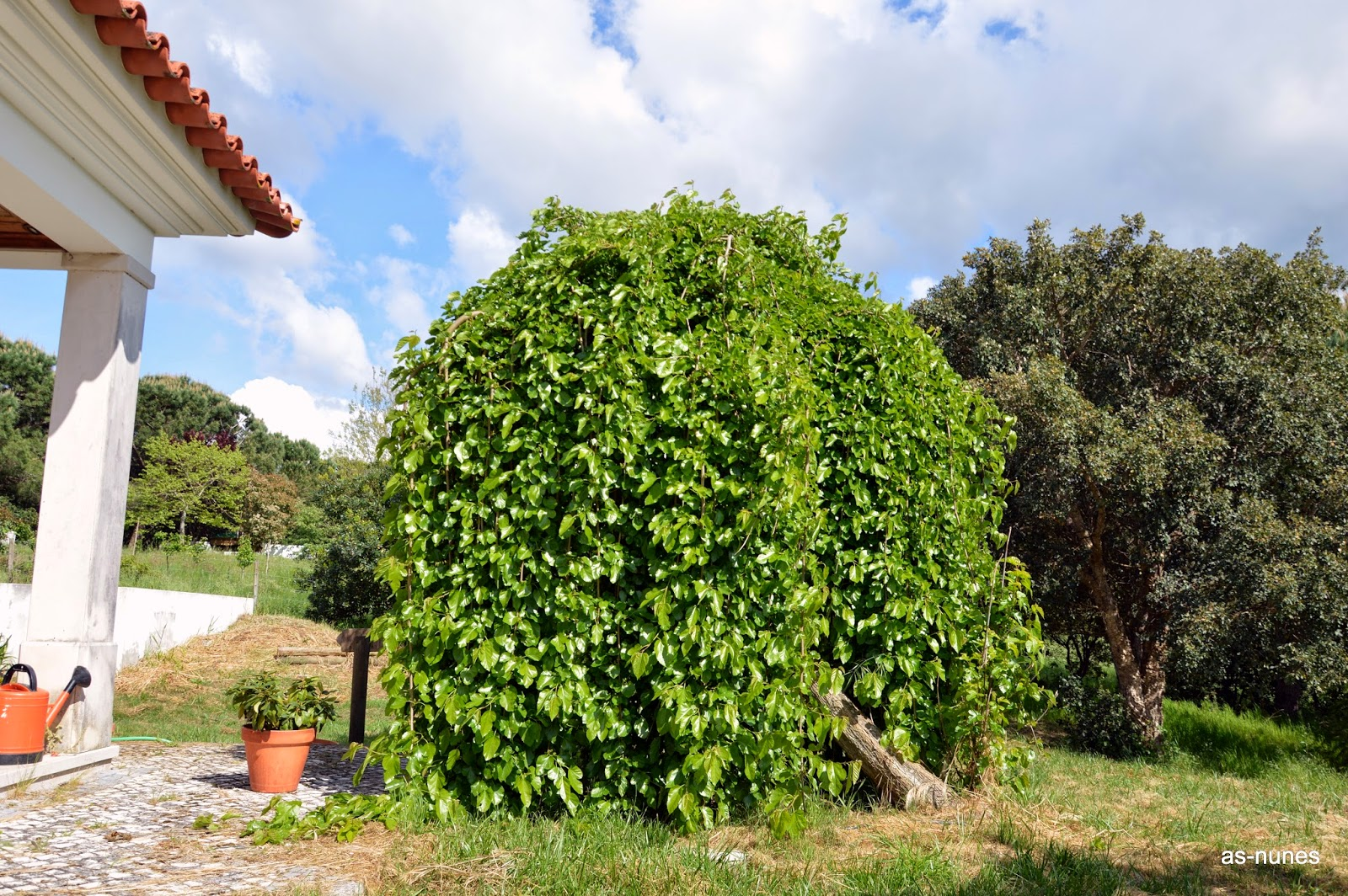 Árvores de Leiria Amoreira pendular