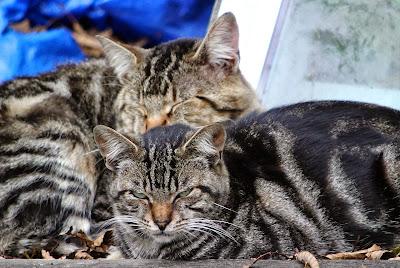 tabby cat friends