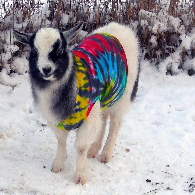 Bernadette the goat