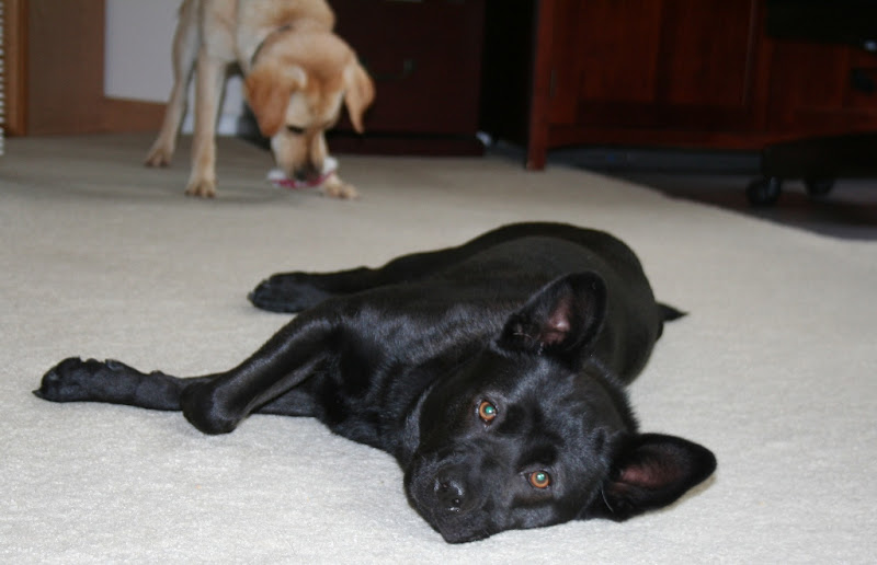 little black dog tabi laying on our carpet, looking at the camera, while cabana is playing with a toy behind her