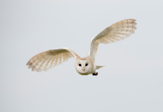 Josh Jaggard, Barn Owl