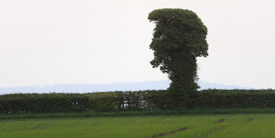 Elvis Tree In Herefordshire, England