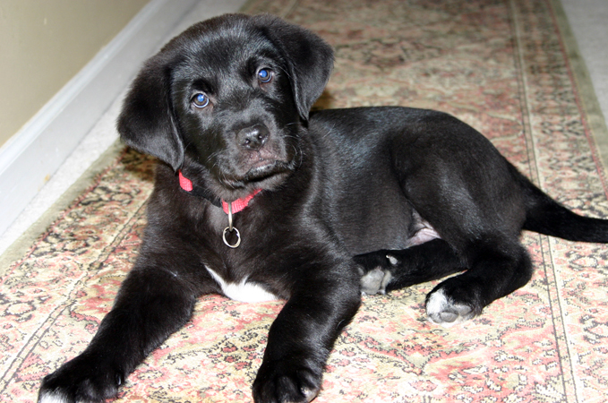Goldens Retrievers: Golden Retriever And Black Lab Mix