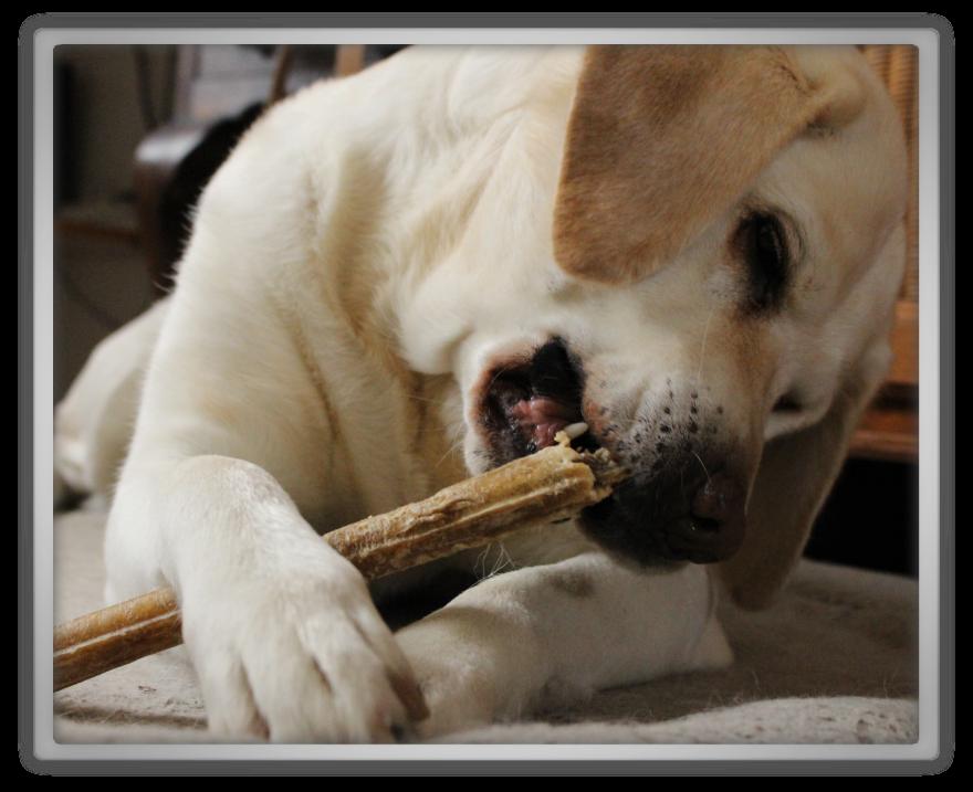 Tara photo shoot cute adorable blind labrador blond kawaii sweet keai aegyo bone play playing toy toys marjolein Kucmer 2 canon 700d