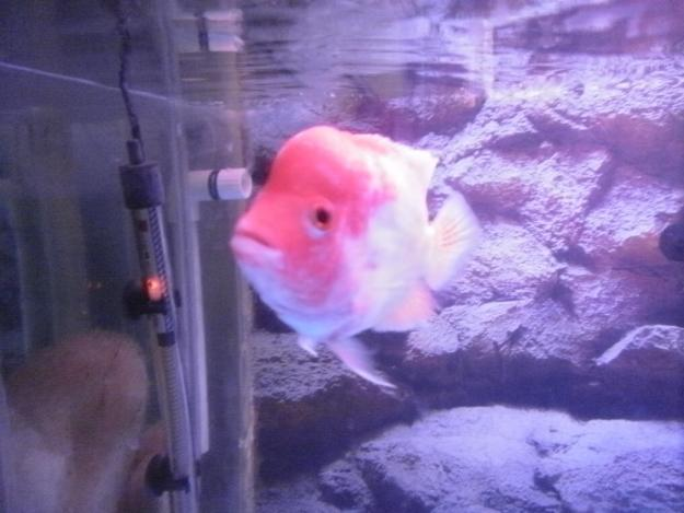 Flowerhorn fish for sale in karachi pets for sale in for Flowerhorn fish for sale