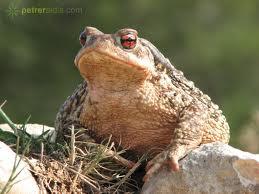 Que significa soñar con sapo o rana