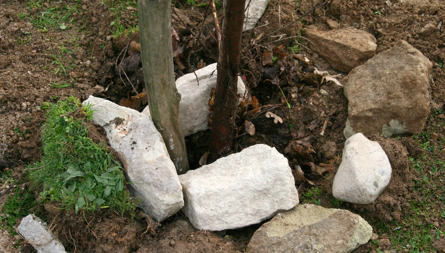 The base of the tree with stake