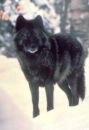 Manada: Guardianes del bosque - Página 38 VOYA-Black_wolf