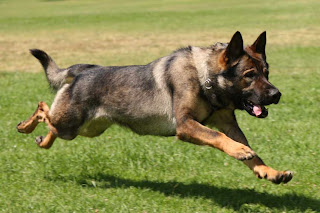 Police/military dogs