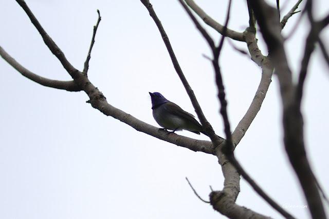 雞南山散步,黑枕藍鶲