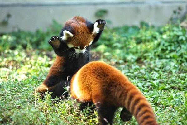 40 Adorable red panda pictures (40 pics), cute red pandas playing around
