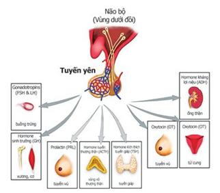 Vai trò của Tuyến yên trong đó có FSH+LH và Prolactin (tuyến vú)