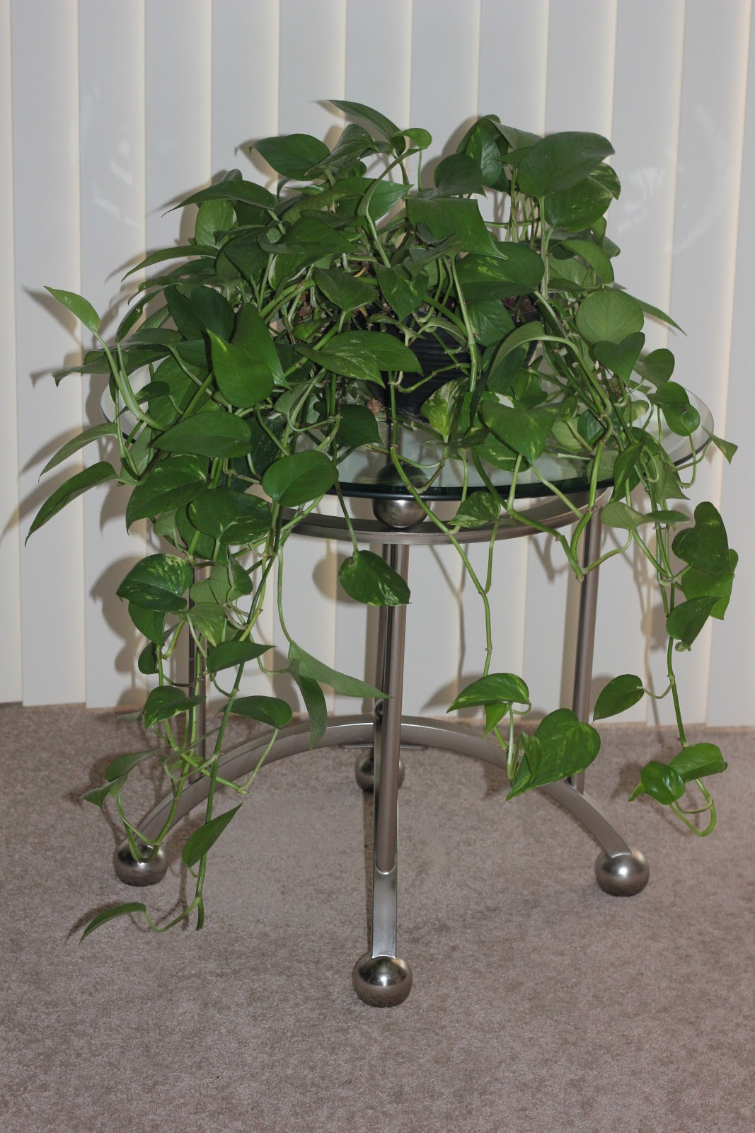 Golden Potho's houseplant for removing toxic chemicals from indoor buildings for cleaner air.