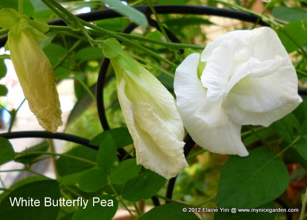 Clitoria ternateaClitoria Ternatea Seed