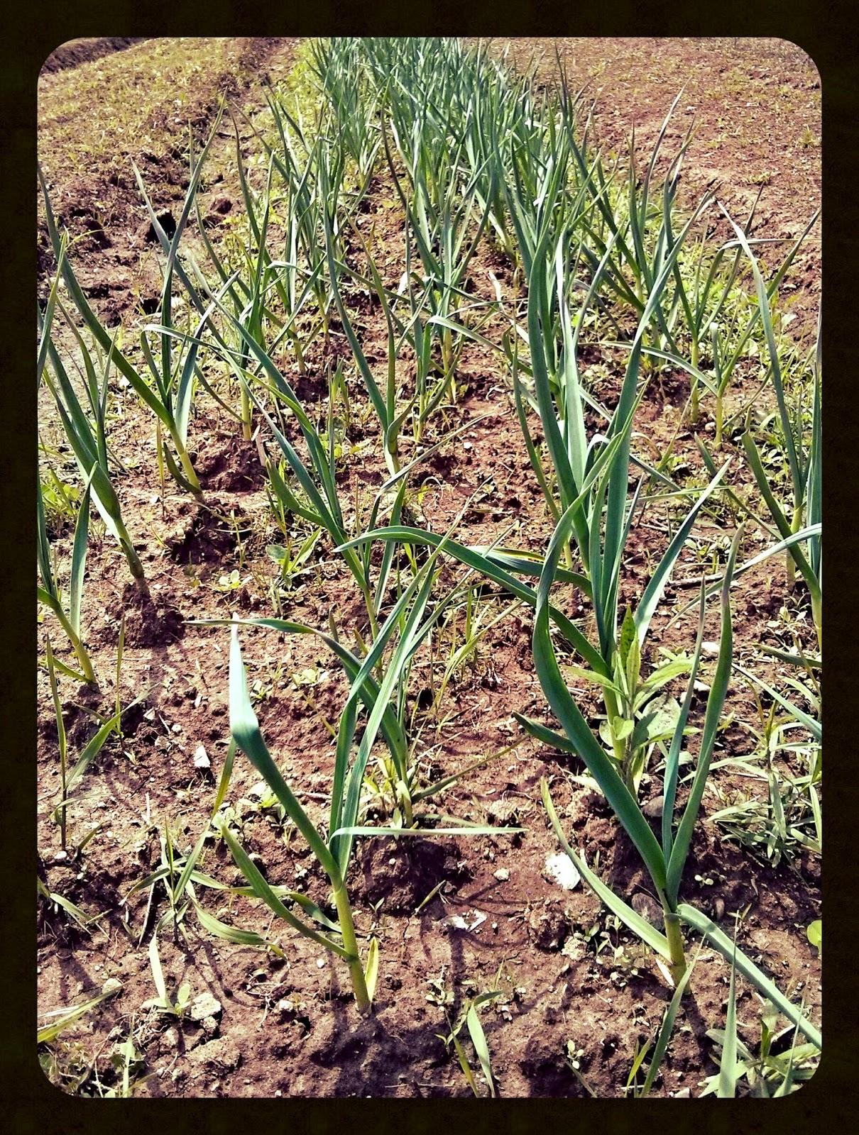 Savoir vivre autrement pendant ce temps la ferme le petit d 39 eauvier - Semer de l ail ...