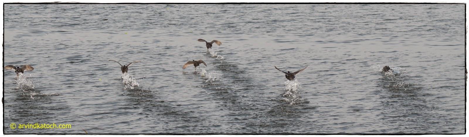 Migratory Birds, Harike Wetland, Wetland, Harike,