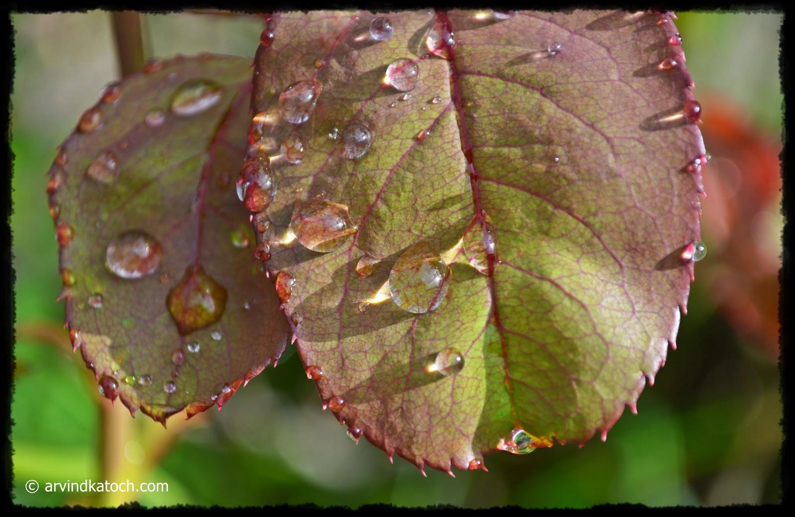 Rain drops, Rose Leaves, Rose, Leaves,