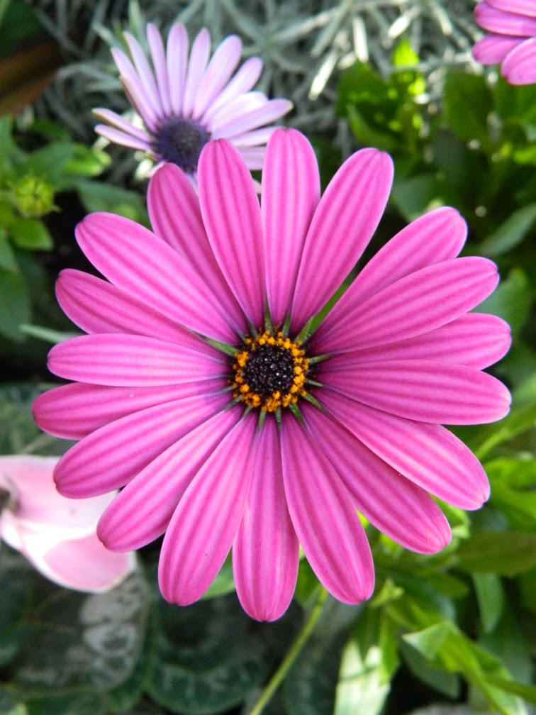 Osteospermum  African Daisy at Allan Gardens Conservatory by garden muses-not another Toronto gardening blog