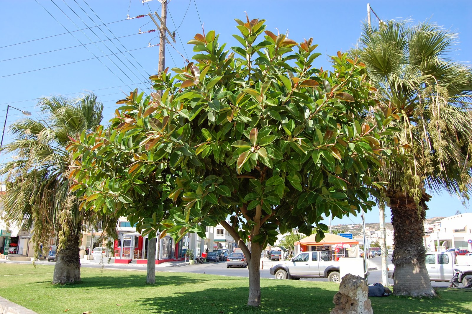 Peces y plantas ornamentales ficus elastica ficus com n for Arbol comun