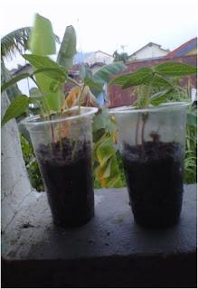Gambar pertumbuhan kacang hijau