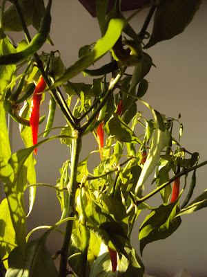 Pikantna oliwa z papryczkami chilli
