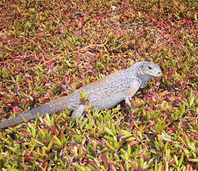 iguana de tierra de san salvador Cyclura rileyi