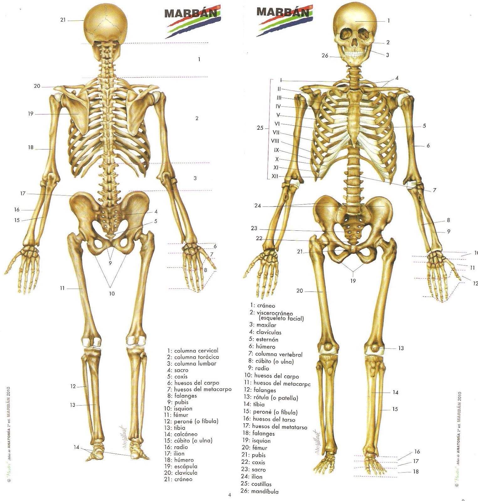 Excepcional Estructura De Los Huesos Del Cuerpo Humano Colección ...