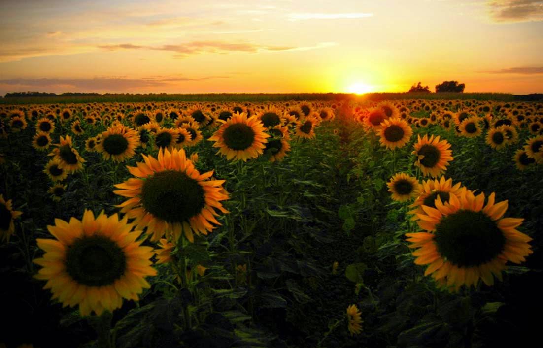 Gambar Kebun Bunga Matahari