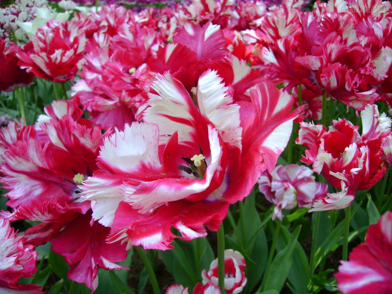 """flores de jardim fotos:Confira algumas fotos desse descomunal e belo """"Jardim da Europa"""":"""