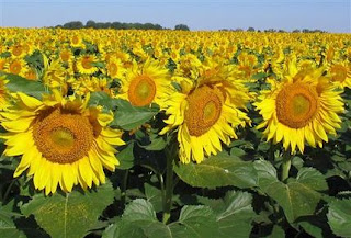 http://prepperherboftheweek.blogspot.com/2015/06/uses-for-sunflowers.html