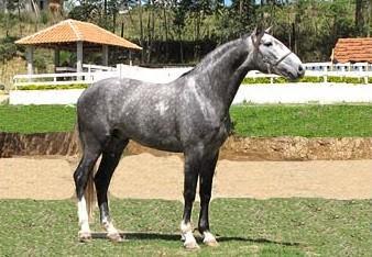 Cavalo Lusitano de Pelagem Russa