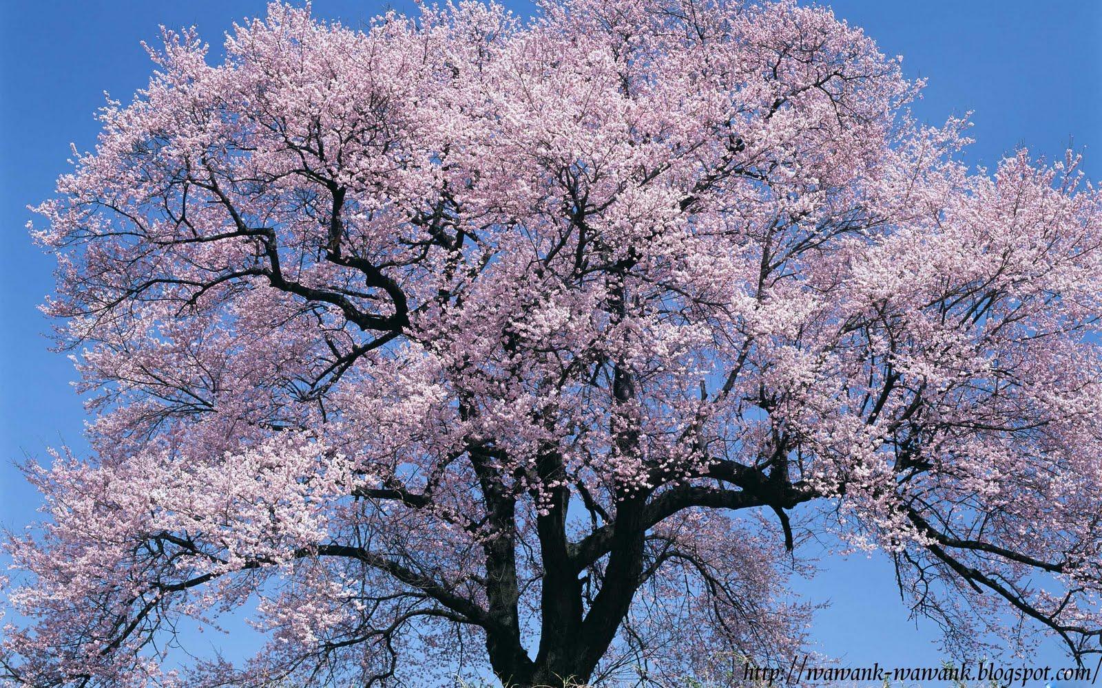 Bunga Sakura Wallpaper GambarBinatangCom