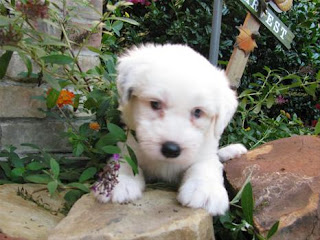 Old English Sheepdog Puppy Photo
