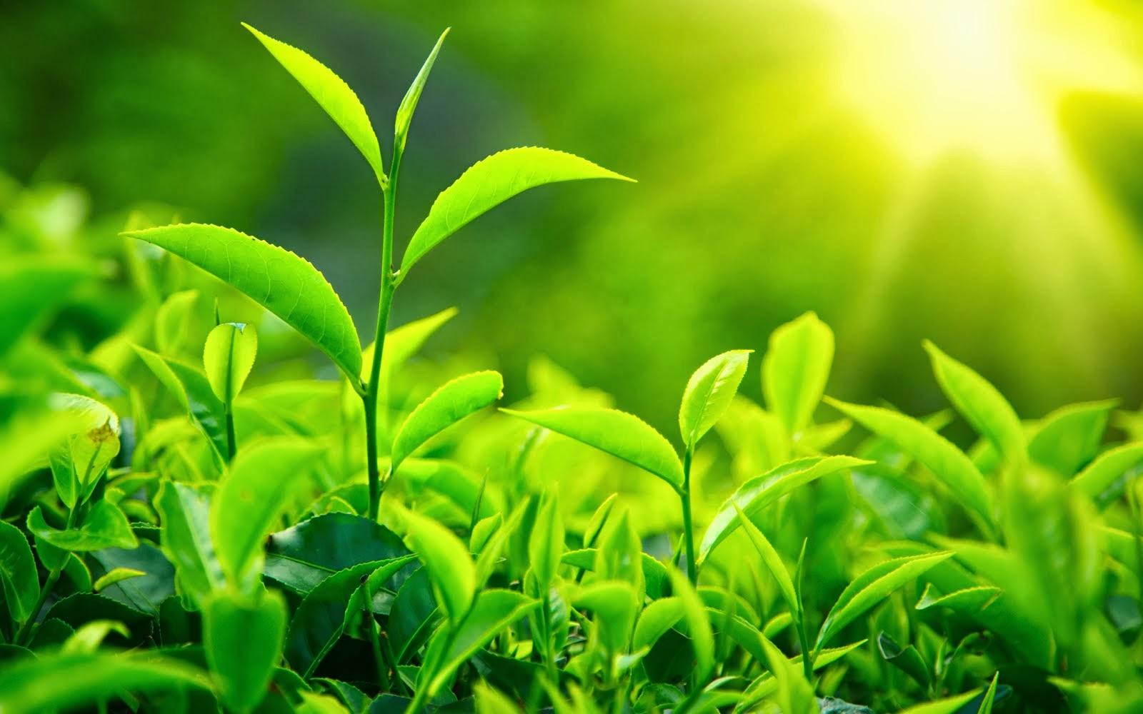 зеленый чай для похудения как употреблять